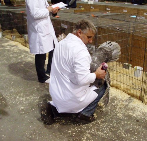 When we arrived, the judges were already hard at work.  These are judging a rare breed Slate Turkey.
