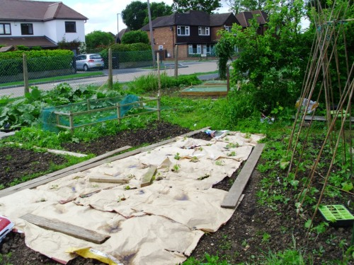 Courgettes and squash have been planted through the paper, to suppress the weeds