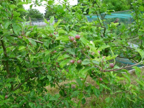 In spite of vigorous pruning, we're going to get plenty of lovely Fiesta apples this year.  The next door tree, a Peasgood's Nonsuch, is almost bare of fruit, though.