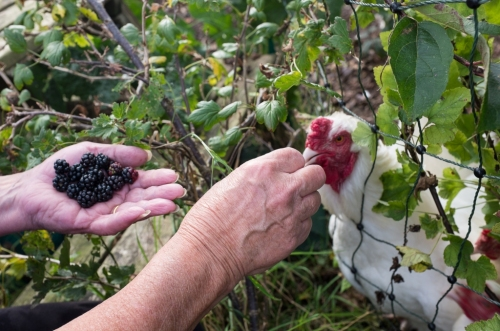 Ixworth Blackberries a