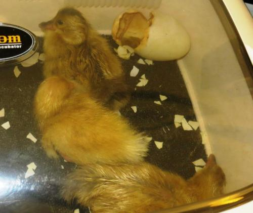 And finally, moving on, here are 5, 6 and 7, all hatched within the last few hours.